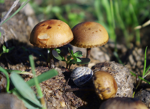 Dung mushrooms