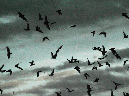 Mexican Freetail Bats flying out of Carlsbad Caverns, New Mexico at dusk